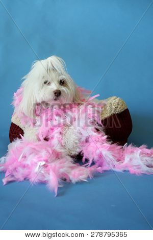 Dog Photo Shoot. Beautiful Maltese Dog with a Pink and White feather boa in a dog bed with a blue seamless background. Valentines Day Dog Photo Shoot.