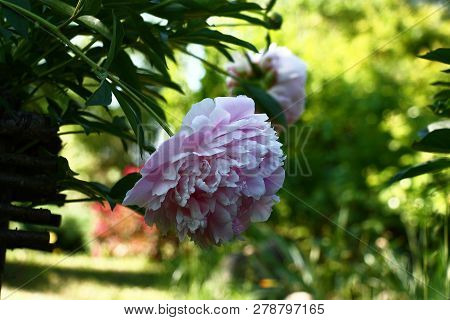 Large terry pink flower of a peony on the hung escape on a green background of a garden. poster