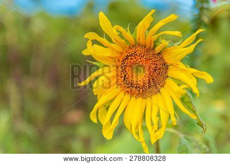 Close Up Sunflower.field Of Blooming Sunflowers In Countryside.