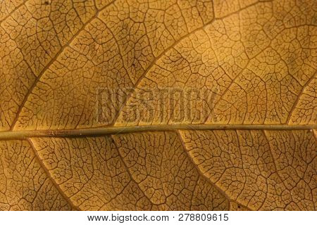 Close Up Yellow Vein Leaf Background Texture. Royalty High-quality Free Stock Photo Image Of Detail