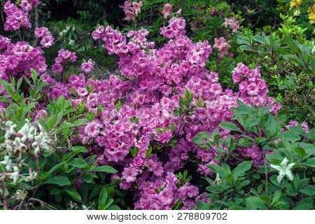 Blooming Rhododendron Pink Flowers In Spring Ornamental Garden