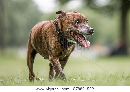 An Older Staffy Portrait Walking Towards The Camera With Its Mouth Open And Tongue Out