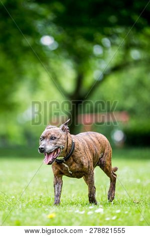 An Older Staffy Walking Across The Park With Out Of Focus Trees In The Background.