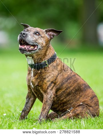 An Older Staffy Sitting In A Field Looking Up With Its Mouth Open Smiling