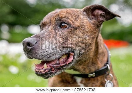 An Older Staffy Portrait Looking To The Side. Mouth Slightly Open With Green Behind