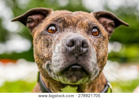 An Older Staffy Portrait With Its Mouth Closed Fairly Close Focus And Swallow Depth Of Field