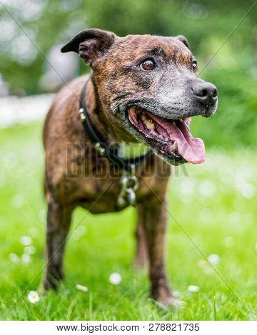 An Older Staffy Standing In A Meadow Smiling Looking To The Side Of The Camera.