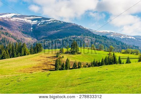 Beautiful Countryside In Springtime. Spruce Trees On A Grassy Meadow. Distant Mountain With Snow On