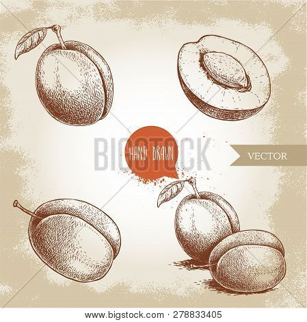 Hand Drawn Plums Set. Single, Whole And Group. Collection Of Retro Style Fruits. Vector Illustration