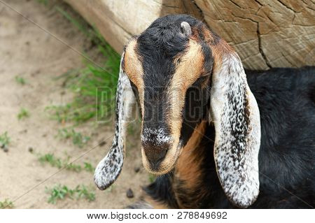 A Close Up Of A Long Eared Goat.