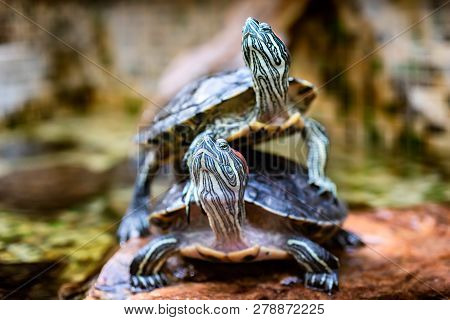 Two Turtles In The Forest. Turtle As Symbol Of Wisdom, Patience And Longevity