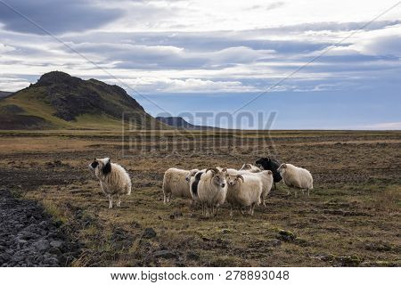 Group Of Icelandic Sheep Near The Coast. Blue Sky.