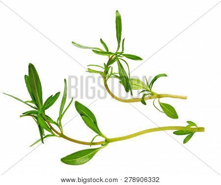 Savory Bunch Isolated On White Background. Savory Herb Leaves. Fresh Green Savory Plant.