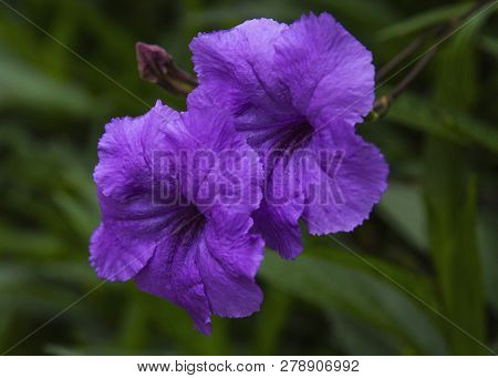Beautiful Violet Ruellia Simplex Flowers Close-up Picture