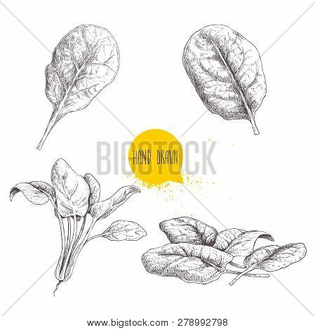 Hand Drawn Sketch Style Spinach Set. Fresh Farm  Green Leaves Hand Made Retro Illustrations. Vector