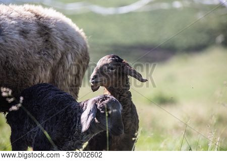 A Sheep And A White Lamb And A Black Lamb, Cute Animal