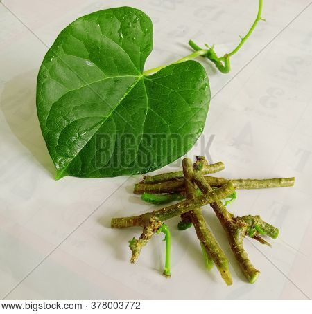 Ayurvedic Herb Giloy Leaf And Stick And Background