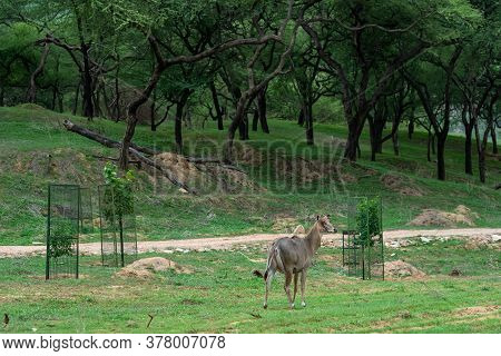 Infected Eyes Female Nilgai Or Blue Bull Or Boselaphus Tragocamelus Portrait In Natural Green Monsoo