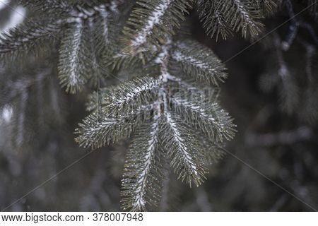 Spruce Branches In Winter. Simple Natural Background. Spruce Is A Thorny Plant.