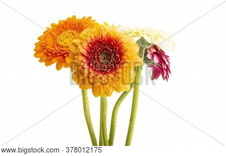 Beautiful Flower Gerbera Isolated On White Background