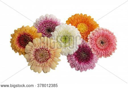 Beauty Flower Gerbera Isolated On White Background