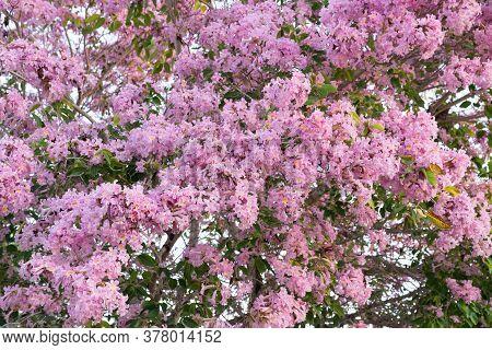 Beautiful Tabebuia Paleri Or Handroanthus Impetiginosus Covered In Pink Flowers