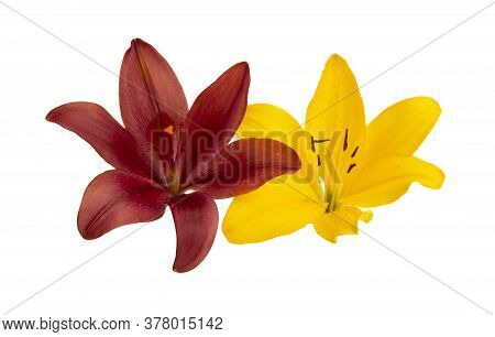 Lily Flowers  Flower Isolated On White Background