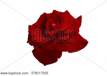 Red Rose  Flower Isolated On White Background