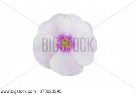 Phlox Pink Flower Isolated On White Background