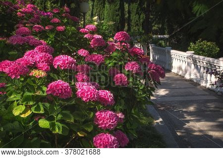 Alley In The Park With Hydrangea Bushes. Gorgeous Hydrangea Bright Pink Blooms In The Garden In Summ