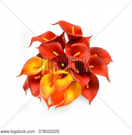 Red and yellow Calla lilies on a white background. St. Valentine's Day. Beautiful yellow and red flowers
