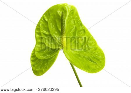 Green Flower Anthurium Isolated On White Background