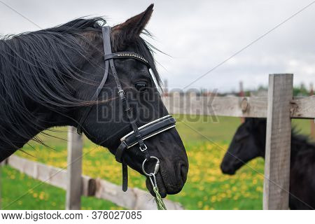 The Close-up Portrait Of A Black Horse On A Green Field With Yellow Flowers And A Foal In The Backgr