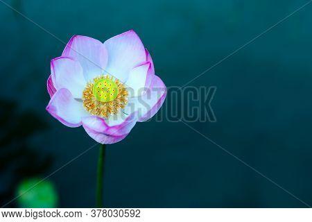 Beautiful Lotus Flower Blooming In Summer Pond.