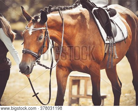 The Girl Leads By The Reins Of A Beautiful Sports Racehorse Bay Horse With A Saddle On Its Back. Wal