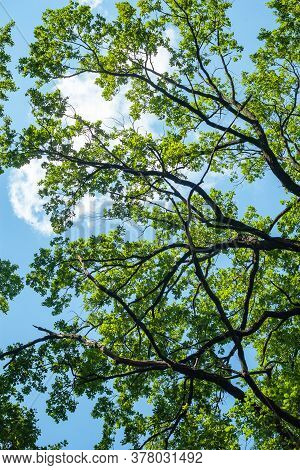 Green Crowns And Dense Branches Of Tall Trees Against The Blue Sky. Abstract Natural Vegetative Back
