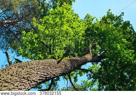 Crown And Trunk Of A Tall Tree Against The Sky. Abstract Natural Vegetative Background. Template For