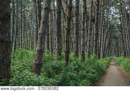 The Path Through The Forest Spruce Grove, Wildlife. Natural Background. High Quality Photo