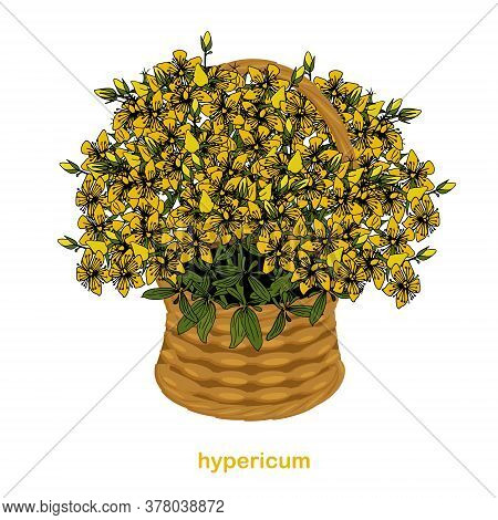 St. John\'s Wort Medicinal Herb In A Basket. Yellow Flowers Hand Drawn Ink Illustration For Web, For