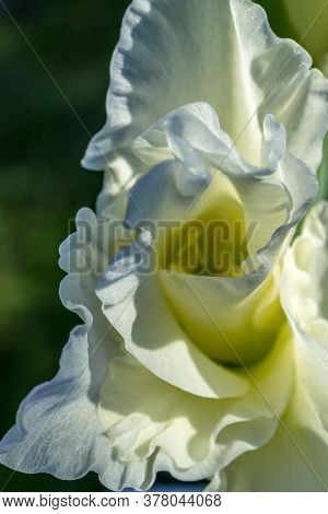 Beautiful Closeup Of Gladiolus In The Garden. Soft Focus. Light Background. Summer, Spring Backgroun