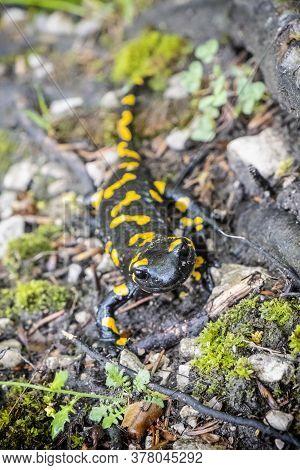Fire Salamander - Salamandra Salamandra. Animal Portrait. Natural Scene.