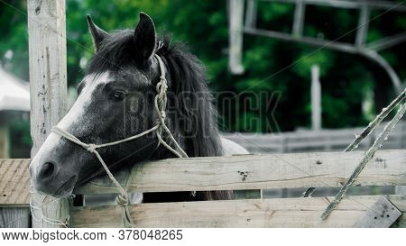 Little Black And White Horse Standing In The Paddock Outdoors