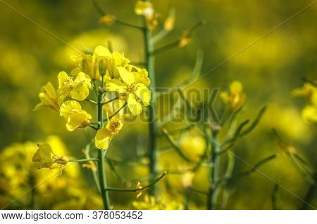 Close Up On Rapeseed Blooming With Yellow Rapsflowers On Field