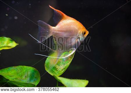 Gold Pterophyllum Scalare In Aqarium, Yellow Angelfish Guarding Eggs. Roe On The Leaf. Selective Foc