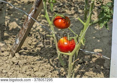Tomato On A Stalk