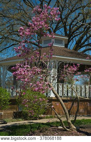 Magnolia Tree Blooming In Front Of An Old-fashioned Small-town Gazebo