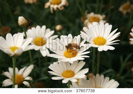 Bee Covered in Pollen on a Daisy