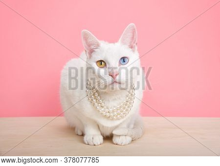 Close Up Of A White Khao Manee Cat With Heterochromia Wearing A Pearl Neclace, Crouching On A Wood T