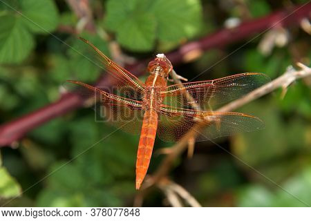 Close Up Of A Flame Skimmer Or Firecracker Skimmer, A Common Dragonfly Of The Family Libellulidae, N