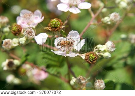Honey Bee Collecting Pollen From Pink Flowers On Blackberry Vines. An Iconic Pollination Species.